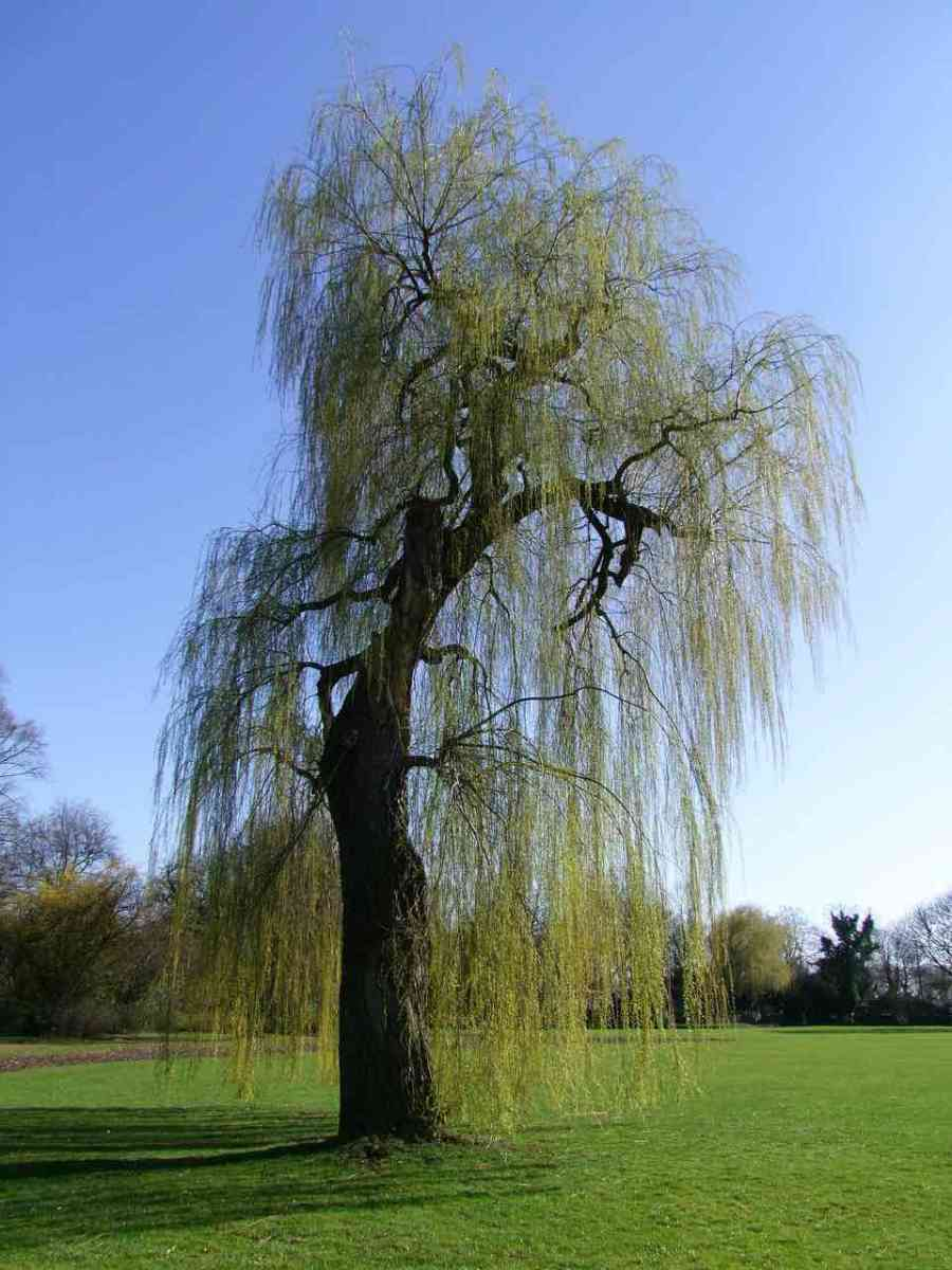 weeping-willow-261458_1280-copy